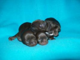 süße Chihuahua Choco-Welpen mit Papieren suchen ein neues zuhause