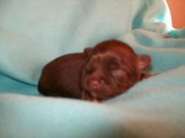 Foto 3 süße Chihuahua Choco-Welpen mit Papieren suchen ein neues zuhause