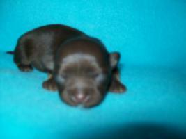 Foto 4 süße Chihuahua Choco-Welpen mit Papieren suchen ein neues zuhause