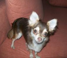 Foto 6 süße Chihuahua Choco-Welpen mit Papieren suchen ein neues zuhause