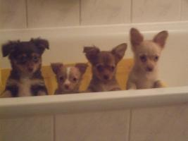 süße Chihuahua Welpen