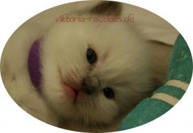 süsse Ragdoll-Kitten suchen neuen Schmusepersonal!