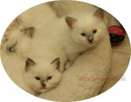 Foto 2 süsse Ragdoll-Kitten suchen neuen Schmusepersonal!