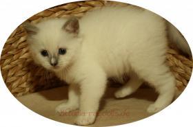 Foto 4 süsse Ragdoll-Kitten suchen neuen Schmusepersonal!