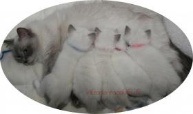 Foto 6 süsse Ragdoll-Kitten suchen neuen Schmusepersonal!