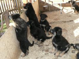 Foto 2 süße Schäferhund-Welpen abzugeben