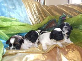 süsse Shih Tzu Welpen suchen ab Juli 2010 ihr neues zu Hause