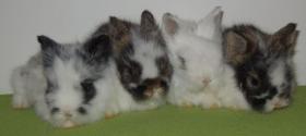 süsse Teddy-Kaninchen