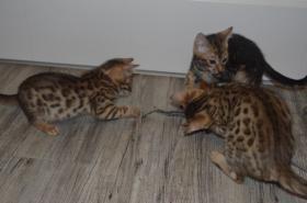 Foto 3 süße reinrassige Bengal-Kätzchen