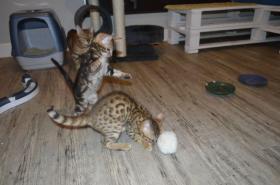 Foto 4 süße reinrassige Bengal-Kätzchen