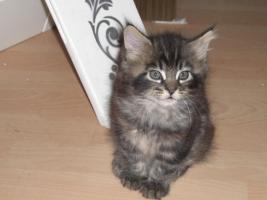 süße reinrassige Main Coon Kitten in grau getigert (wildfarben)