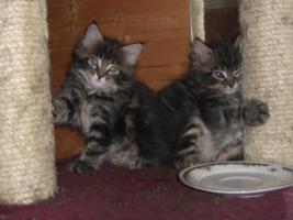 Foto 4 süße reinrassige Main Coon Kitten in grau getigert (wildfarben)