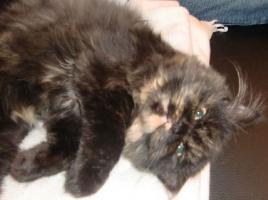 süße reinrassige Perserkatze (Kitten) mit Nase in black/schildpatt
