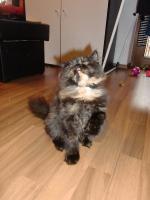 Foto 2 süße reinrassige Perserkatze (Kitten) mit Nase in black/schildpatt