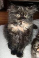 Foto 6 süße reinrassige Perserkatze (Kitten) mit Nase in black/schildpatt