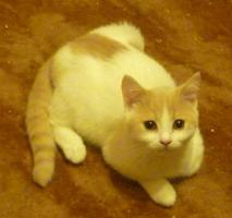 Foto 2 süsse verspielte BKH Kitten