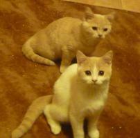 Foto 4 süsse verspielte BKH Kitten