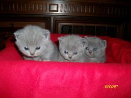süße, reinrassige BKH-Kitten im klassichen Blau