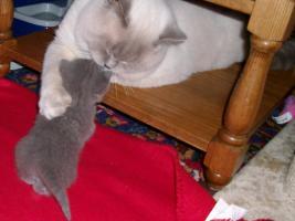 Foto 4 süße, reinrassige BKH-Kitten im klassichen Blau