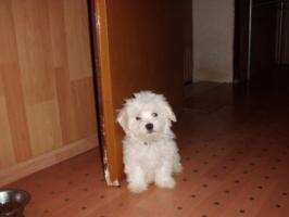 Foto 4 süßer Malteser Bube zu verkaufen