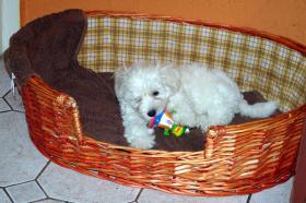 Foto 4 ...süßer Malteser, reinrassig, geimpft & entwurmt