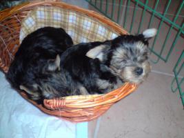 Foto 2 süßer yorkshire terrier welpe, rüde, reinrassig, sucht neues zu hause