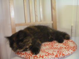 Foto 7 supersüße Britisch Highland Kitten - Katzenbabies
