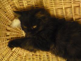 Foto 8 supersüße Britisch Highland Kitten - Katzenbabies