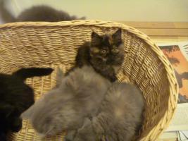 Foto 9 supersüße Britisch Highland Kitten - Katzenbabies