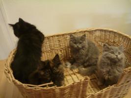 Foto 11 supersüße Britisch Highland Kitten - Katzenbabies