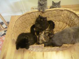 Foto 12 supersüße Britisch Highland Kitten - Katzenbabies