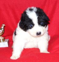 Foto 2 tornjak puppies