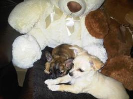 unsere süßen Chihuahuarüden