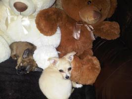 Foto 3 unsere süßen Chihuahuarüden