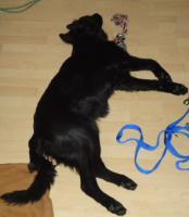 unseren hund labrador-schäferhundmischling gegen zwei kleine katzen ca.12wochen alt