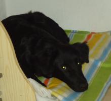 Foto 2 unseren hund labrador-schäferhundmischling gegen zwei kleine katzen ca.12wochen alt