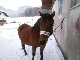 vergebe reitbeteiligung auf huzulen pferde