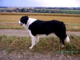 Foto 4 verkaufe Border Collie Rüde.11.Monate