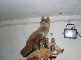 verkaufe zwei ausgestopfte tiere ( Fuchs ) in wuppertal