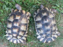 weibliche Breitrandschildkröten12und 14 Jahre