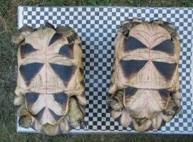 Foto 2 weibliche Breitrandschildkröten12und 14 Jahre