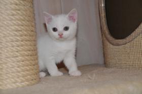 weiße BKH Kitten männlich & weiblich