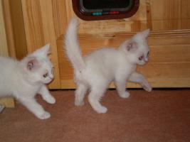 Foto 4 weiße BKH - Babys