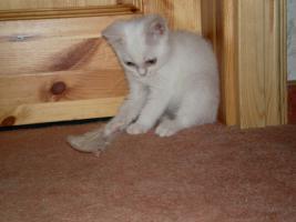 Foto 5 weiße BKH - Babys