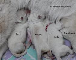 Foto 2 weisse Schäferhund Welpen