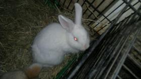 weisser albino  kaninchen junge