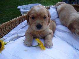 Foto 3 wunderschöne Golden Retriever Welpen