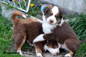 Foto 4 wunderschöne Mini Aussie Rüden