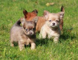 wunderschöne reinrassige Chihuahua Welpen