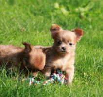 Foto 2 wunderschöne reinrassige Chihuahua Welpen